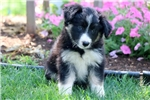 Picture of Sweetie - Border Collie Female