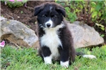 Picture of Ace - Border Collie Mix Male