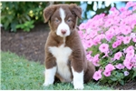Picture of Iggy - Border Collie Female