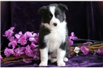Picture of Chucky - Border Collie Male