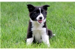 Picture of Theo - Border Collie Mix Male