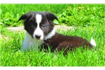 Dingo - Border Collie Male | Puppy at 10 weeks of age for sale