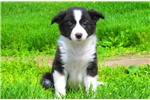 Darling - Border Collie Female | Puppy at 10 weeks of age for sale