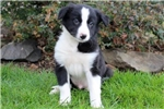 Picture of Charles Ray - Border Collie Male