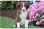 Irving - Border Collie Male | Puppy at 9 weeks of age for sale