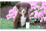 Picture of Isabelle - Border Collie Female