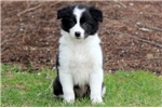 Picture of Franky - Border Collie Male