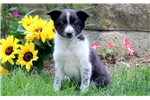 Picture of Twila - Border Collie Mix Female