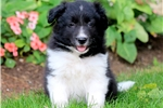 Picture of Chewy - Border Collie Male