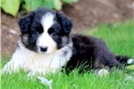 Picture of Charlie - Border Collie Male
