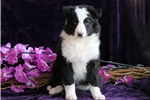 Picture of Curly - Border Collie Male