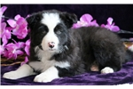 Picture of Chip - Border Collie Male
