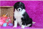 Picture of Gidget - Bordoodle Female