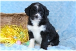 Picture of Glenny - Bordoodle Male