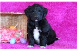 Picture of Gracie - Bordoodle Female