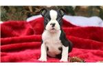 Picture of Luke - Boston Terrier Male