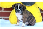 Picture of Freddy - Boston Terrier Mix Male
