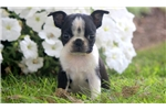Picture of Twinkle - Boston Terrier Female