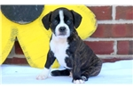 Picture of Forest - Boston Terrier Mix Male