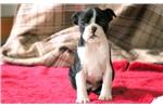 Picture of Faith - Boston Terrier Female