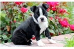 Picture of Mr Bill - Boston Terrier Male