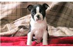 Picture of Frosty - Boston Terrier Male