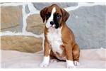 Picture of Roxy - Boxer Female