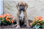 Picture of Scooter - Boxer Mix Male