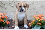 Picture of Sparkles - Boxer Mix Female