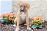 Picture of Sprinkles - Boxer Mix Female
