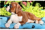 Picture of Bean - Boxer Female