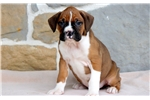 Picture of Rocky - Boxer Male