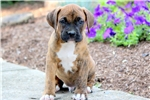 Picture of Sarge - Boxer Mix Male