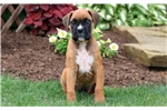 Picture of Blue - Boxer Male