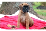 Picture of Miles - Boxer Male