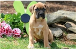 Picture of Hillary - Boxer Female