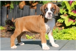 Picture of Champ - Boxer Male