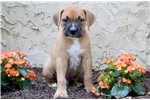 Picture of Sonny - Boxer Mix Male