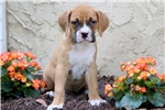 Picture of Spring - Boxer Mix Female