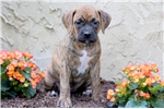 Picture of Sophia - Boxer Mix Female