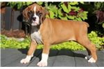 Picture of Hector - Boxer Male