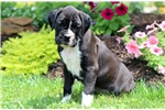 Picture of Glitter - Boxer Female