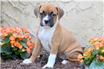 Picture of Shayla - Boxer Mix Female
