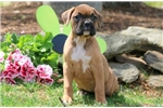 Picture of Hope - Boxer Female