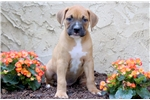 Picture of Splash - Boxer Mix Male
