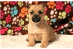 Picture of Sunshine - Cairn Terrier Female