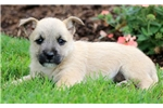Picture of Carson - Cairn Terrier Male