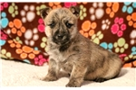 Picture of Stevie - Cairn Terrier Male