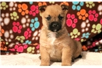 Picture of Sonic - Cairn Terrier Male