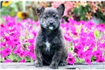 Picture of Scoop - Cairn Terrier Mix Male